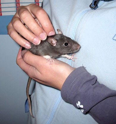 Our baby rat, Maple, sitting in my hands