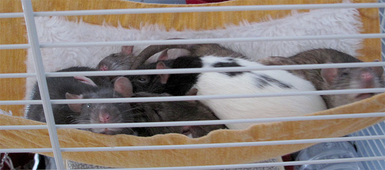 Our beautiful rats all piled up in their hammock