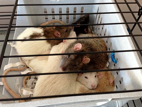 Chips on top of a rattie pile-up with his new brothers