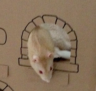Our rat Pika peeking out his cardboard castle