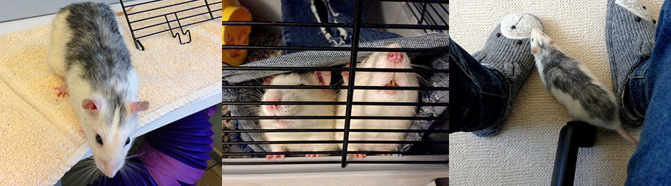 Pictures of our beautiful rat, Wombat who sadly passed away