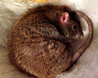 Our gorgeous rat, Chips curled up asleep