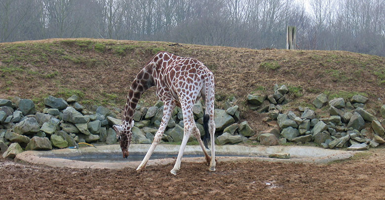 A giraffe at Colchester Zoo bending to drink water