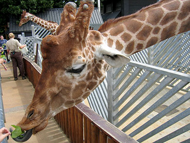 A giraffe at Colchester Zoo eating leaves fed by a visitor