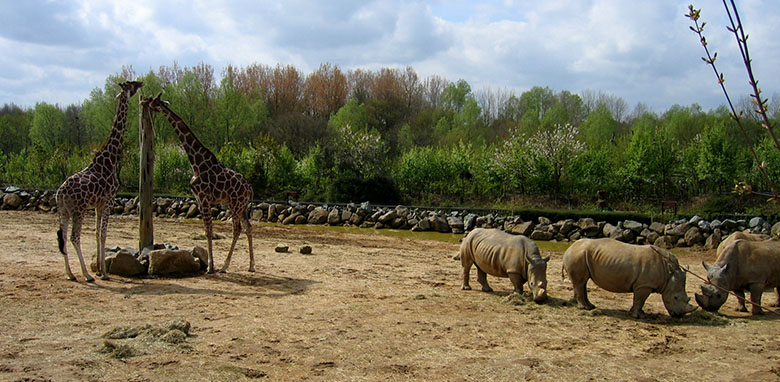 Giraffe and rhinoceros at Colchester Zoo