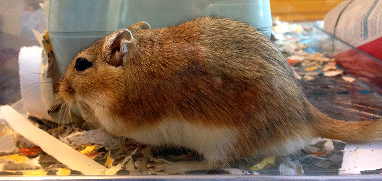 Our cute little gerbil Wheatie