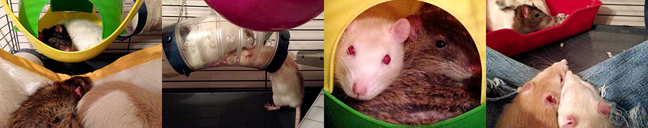 Montage of our seven rats