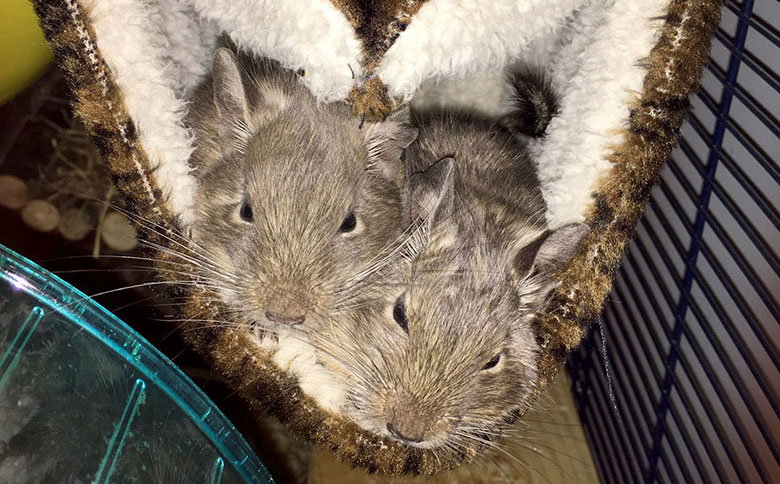 Our two degus snuggled in their fluffy hammock