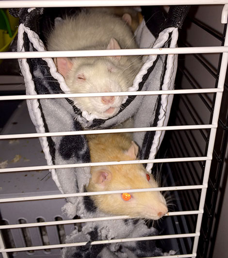 Oatie snuggling in his fleecy tunnel with Pika snoozing above