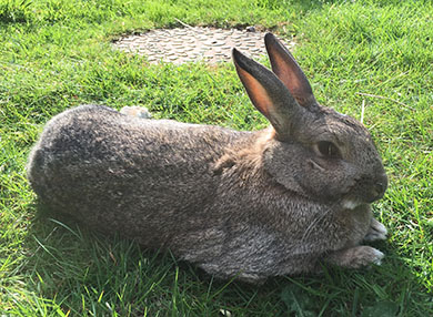 Our bunny, Fern, relaxing on the lawn