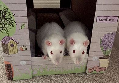 Our sweet rats, side by side in a cardboard cat house