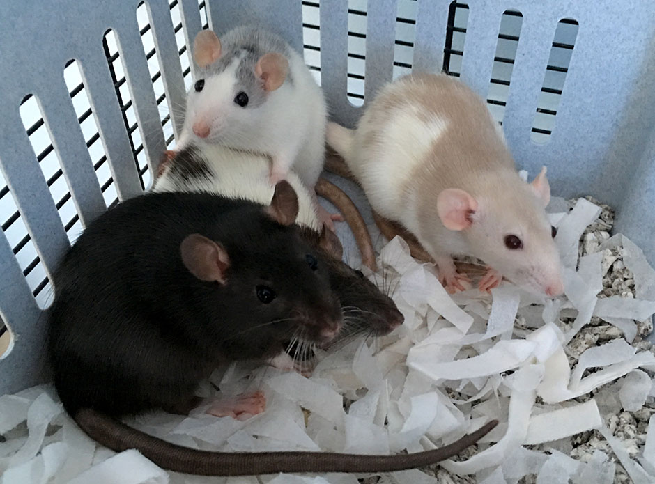 Our four new baby rats