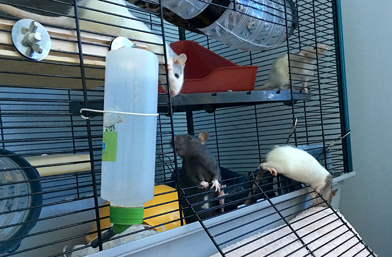 My four baby rats peering out of their oped cage doorway