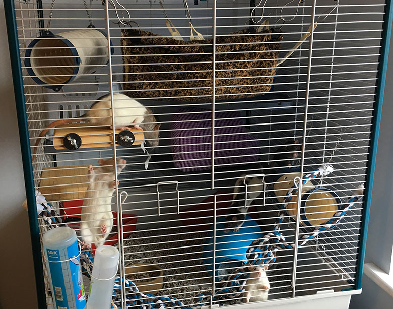 Our rats in their Furplast Furret cage