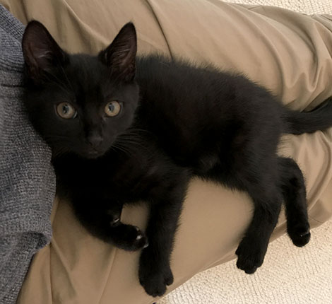 Our new black kitten Inkie, sitting on my lap