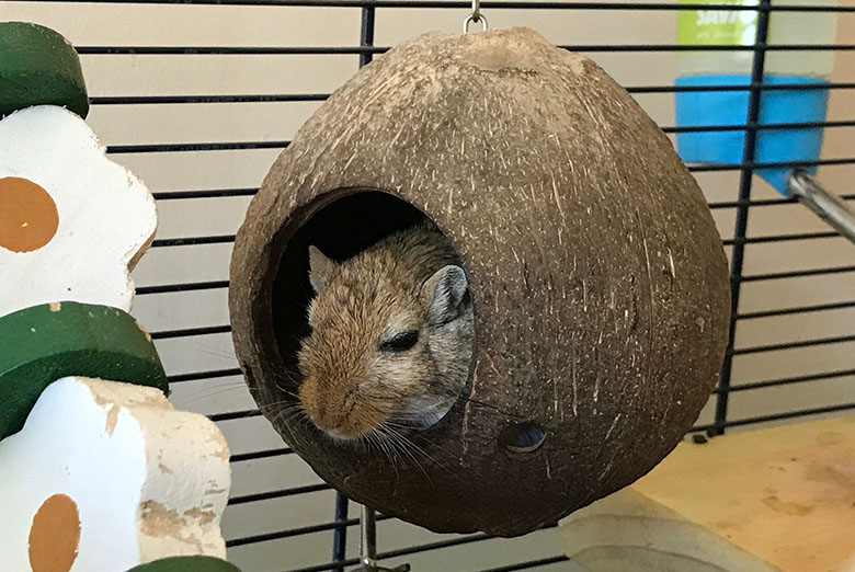 Our gerbil, Almond sitting in a hollowed out coconut