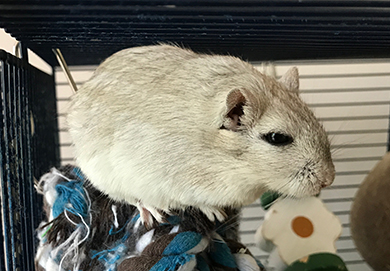 Our gorgeous little grey gerbil, Cashew