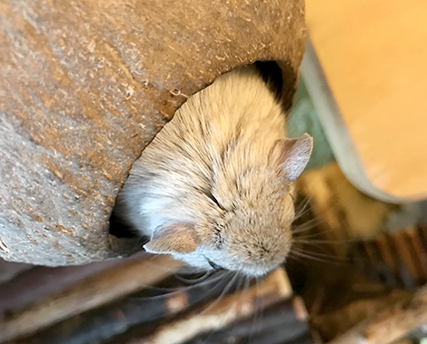 Our grey gerbil, Plum sitting in her coconut house